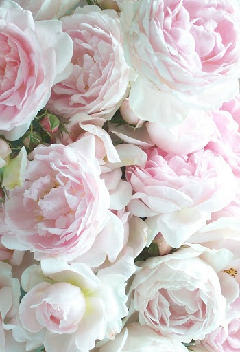 white-pink-cabbage-roses